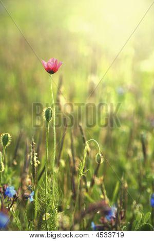 Wild Poppies Against Morning Light
