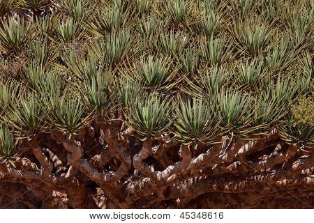 Spiky leaves of Dragon tree - Dracaena cinnabari - Dragon's blood - endemic tree from Socotra, Yemen