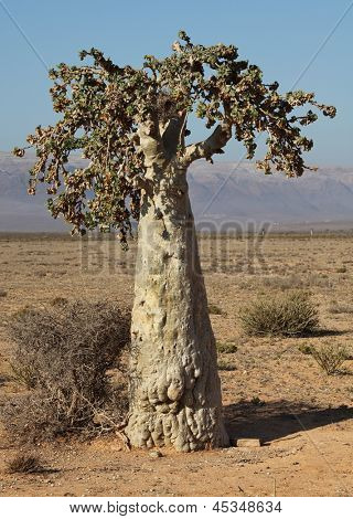 Cucumber tree, Dendrosicyos socotranus - endemic of Socotra Island