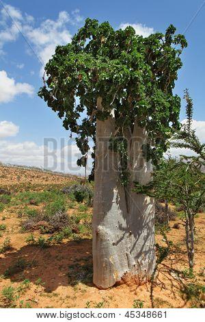 Cucumber tree, Dendrosicyos socotranus - endemic of Socotra Island