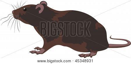 rat, rodent