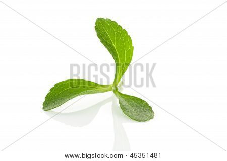 Stevia Herb Isolated.