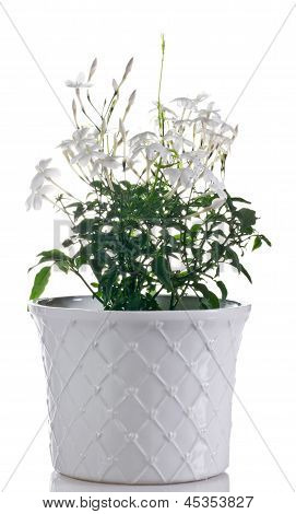 Jasmine Flowering Plant In Pot On A White Background