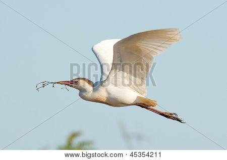 Cattle Egret In Flight With Stick