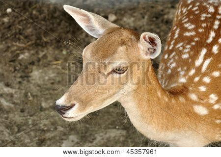 Roe Deer Fawn Close Up