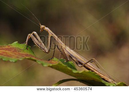 Mantodea On A Green