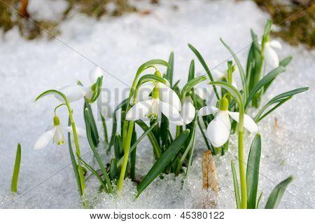 Spring Snowdrop Snowflake Flowers Blooms Snow