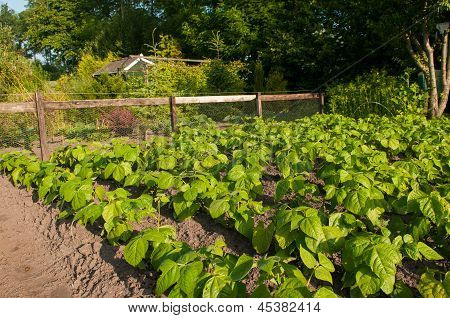 Young Beans Growing In An Allotment