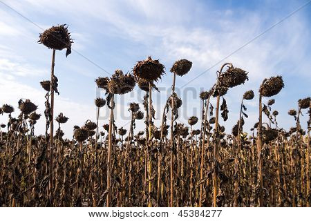Drought Sunflower Field