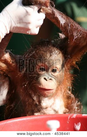 Baby Orang Utan Getting Bath
