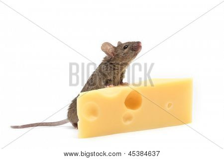 Mouse with a slice of swiss cheese isolated on white