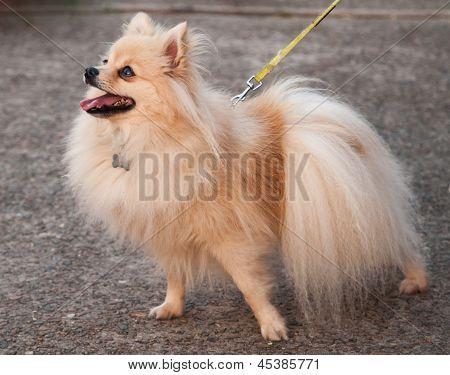 Orange Pomeranian On Leash For A Walk