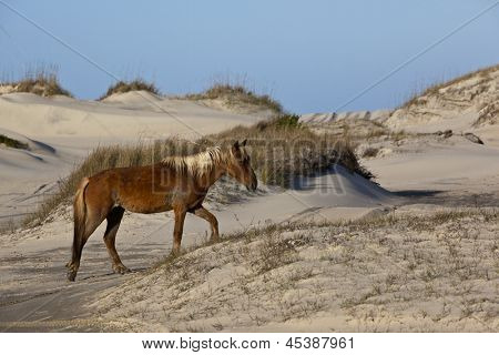 Wild horses graze in the protected northern tip of the Outer Banks in Corolla, North Carolina