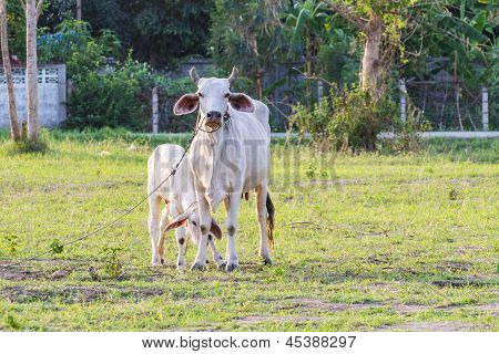 Thai Mother Cow With Young Calf Resting In A Field
