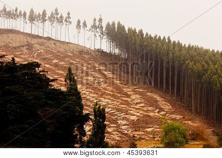 Vast clearcut Eucalyptus forest for timber harvest
