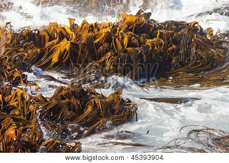 Bull Kelp Durvillaea Antarctica blades in surf