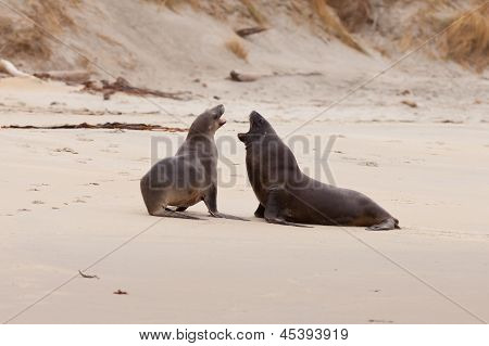 Cortejo de lobos marinos de prostitutas masculinas y femeninas en bruto
