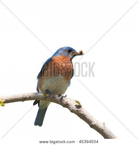 Male Eastern Bluebird with an insect in his beak for the brood; isolated on white