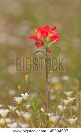 Bright scarlett red Indian Paintbrush, Castilleja, in spring with white wildflowers
