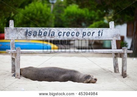 Sea lion relaxing on a beach at Galapagos island of Isabela