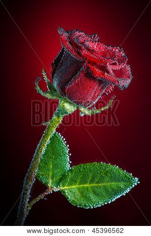 Rose with bubbles