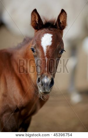 Portrait Of A Brown Foal.