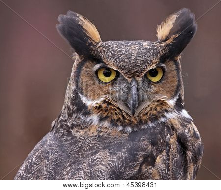 Great Horned Owl Up-close