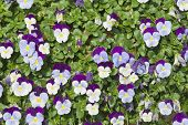 Mini Pansy Background
