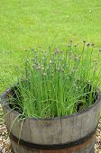 Home Grown Chives.