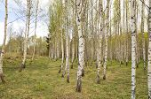 Birch tree in spring