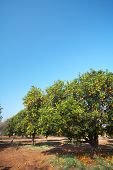 Orange Fruit Orchard