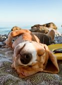 stock photo of puppy beagle  - Sunbathing beagle puppy portrait lying at the sea coast - JPG