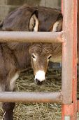 stock photo of headstrong  - Young donkey behind the bars in the farm - JPG
