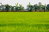 foto of banana tree  - Banana tree behind Rice field in Thailand - JPG