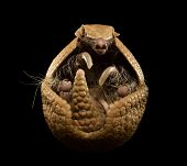 picture of armadillo  - Three banded armadillo isolated on black background - JPG