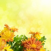 stock photo of chrysanthemum  - Chrysanthemum orange and yellow flowers with green leaaves - JPG