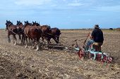stock photo of clydesdale  - An Oldtimer Ploughing the Field with a Six Horse Team of Clydesdales - JPG