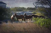 stock photo of outer  - A family of wild horses graze among the homes in the Outer Banks in North Carolina - JPG