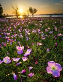 picture of primrose  - Field of Pink Evening Primrose lit by early morning sunshine - JPG