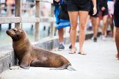 picture of sea lion  - Sea lion on a pedestrian walkway at Galapagos islands - JPG