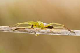 picture of huntsman spider  - Close up view of beautiful green huntsman spider  - JPG