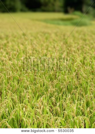 Ripe Rice With Yellow Color