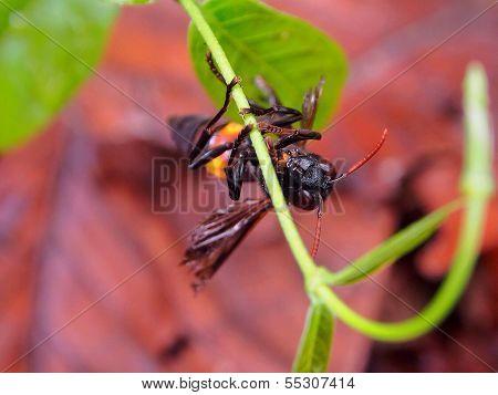 The grace hornet