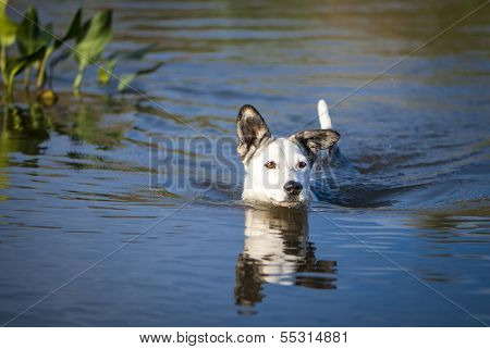 Mixed Breed Dog Swims In The Lake