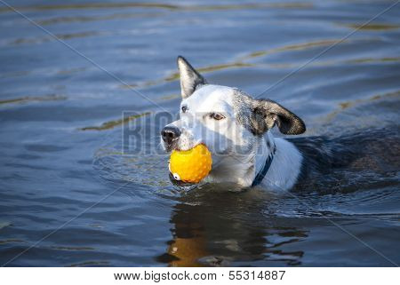 Mixed Breed Dog Swims With Yellow Ball