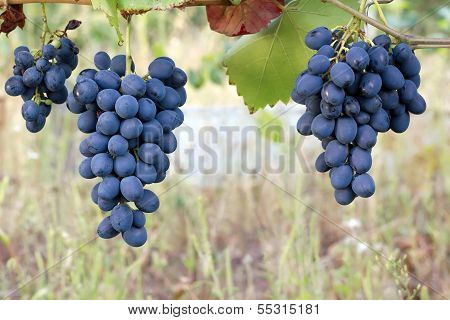 Purple Red Grapes