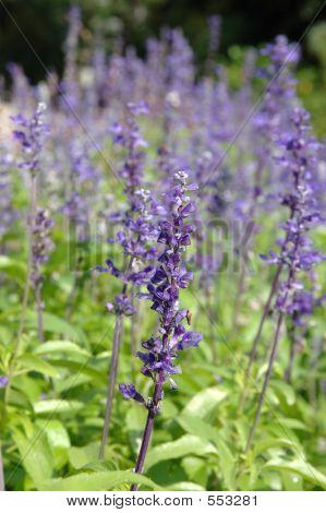 Purple Salvia