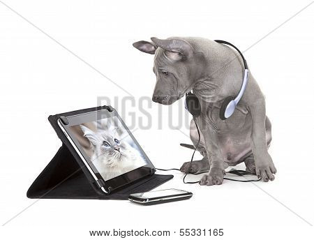 Thai Ridgeback Puppy With Tablet Computer