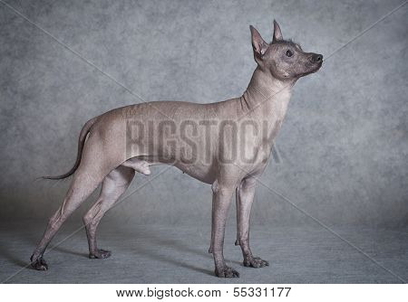 Xoloitzcuintle Male Dog Against Grey Background
