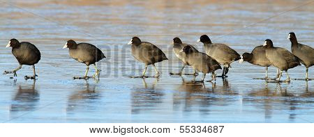 Coots Following The Leader